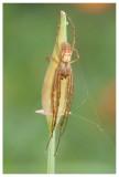 Tetragnathidae sp.