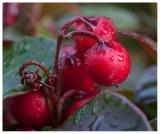 Eeastern Teaberry