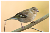 Chaffinch (female)