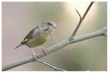 Greenfinch (female)