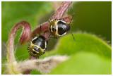 Shield Bug Larva