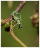 Polydrusus sericeus