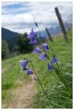 Campanula rotundifolia