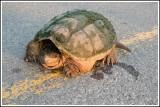 Serpentina turtle