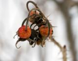 Little fruit frozen by winter