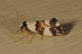 Arctiidae, Arctiinae
