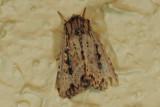 Noctuidae - Hadeninae