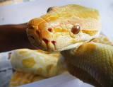 Hypnotized Yellow Snake