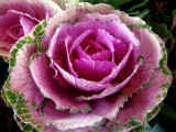 Ornamental Pink Cabbage