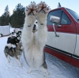 Conunully Sled Dog Race 2011