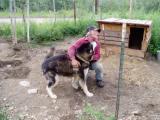 Female Malmut loves her master ( Eagle Alaska)