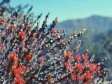 Indian Paintbush
