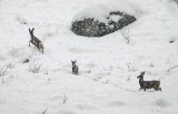Mule Deer Out For A Food Run In Bad Snow