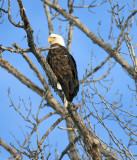 Bald Eagle Perched Above Entiat River In Winter