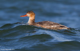 Red-breastedMerganser10c1631.jpg
