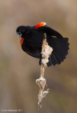 Red-wingedBlackbird64c7989.jpg