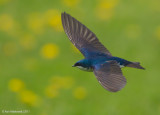 TreeSwallow24c8865.jpg