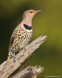 NorthernFlicker06c9029.jpg