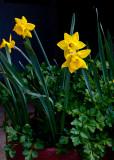 Daffodils & Parsley