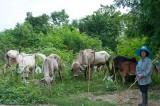 Cattle grazing near Kanchanaburi
