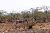 Wild asses, Little Rann of Kutch