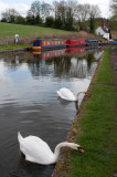 Swans grazing, Stewponey