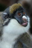 Spot Nosed Guenon 1