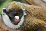 Spot Nosed Guenon 2