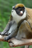 Spot Nosed Guenon 3