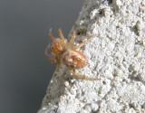 SPIDER Araniella displicata