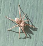 Pardosa SPIDER