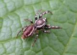Spider   maybe Pelegrina
