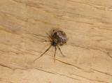 Spider   Parasteatoda tepidariorum