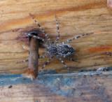 Spider Dolomedes at House