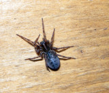 Funnel-Web Spiders - Coras maybe montanus