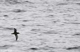 Sooty Shearwater - Grauwe Pijlstormvogel - Puffinus griseus