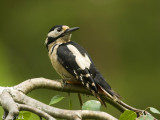 Great Spotted Woodpecker - Grote Bonte Specht -Dendrocopos major