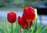 GARDEN (4) :Tulip,Viola Tricolor,Lily  and Other ...... ( Four Seasons of Taiwan )