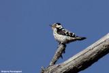 Dendrocopos minor (lasser spotted woodpecker - picchio rosso minore)