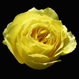 Yellow Rose Blossom