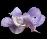 Flower Of The Snail Vine