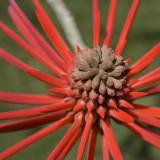 Flower of a Coral Tree (Erythrina speciosa) #2