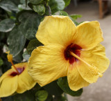 Golden Hibiscus
