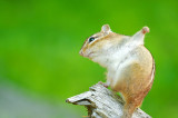 Eastern Chipmunk Stretching on its Perch