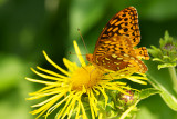 Greater Fritillary Butterfly