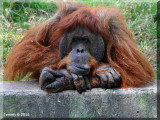 Orangotang.jpg
