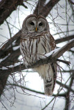 IMG_2836 Chouette rayée - Barred owl - Strix varia