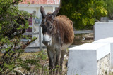 There are plenty of wild donkeys on the island