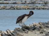 Pelicans are plentiful here