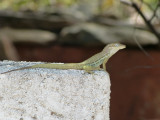 Another lizzard, not as colourful though at the blue one